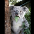 Koala Cant Believe It